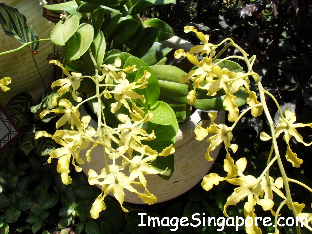 Dendrobium Tien Soeharto
